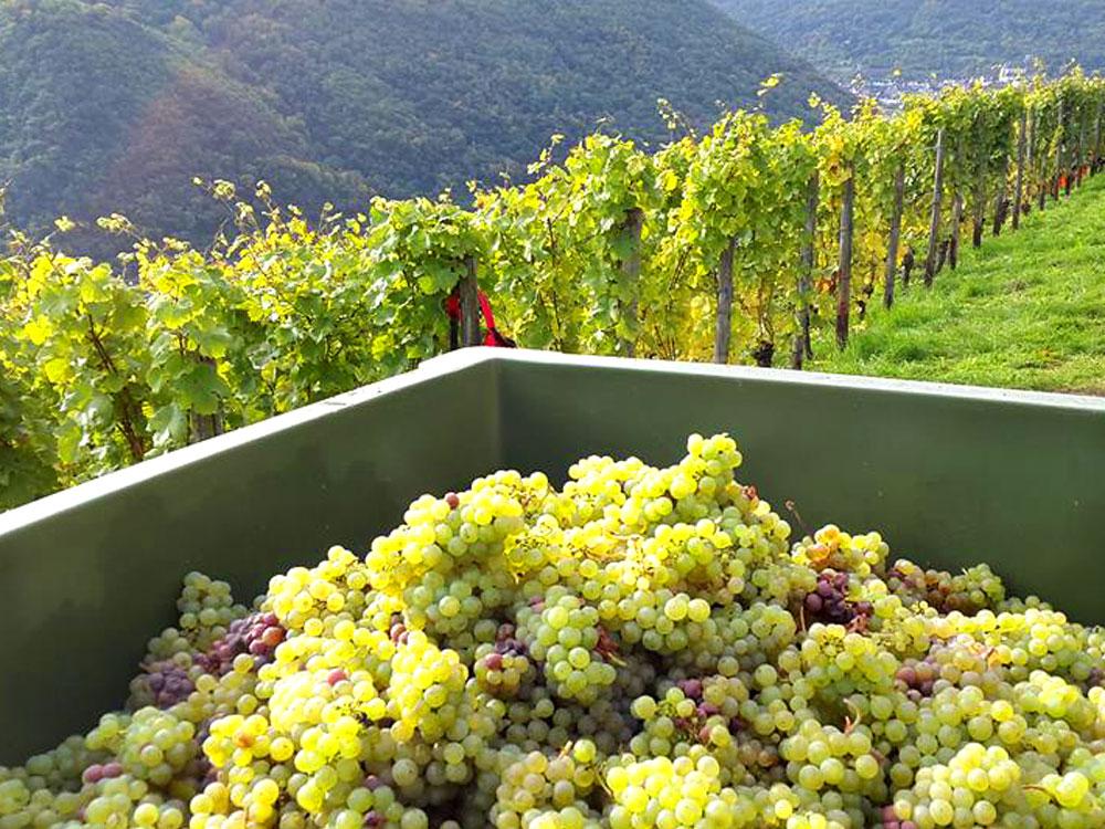 Traubenlese im Weinberg des Weinguts Philipps-Mühle im Mittelrheintal©Phlipps-Mühle