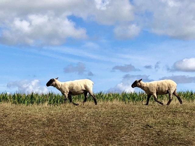 Schafe auf dem Deich ©RosiKmitta